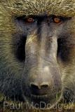 baboon-01