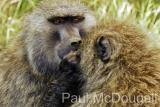 baboon-03