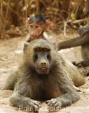 baboon-04