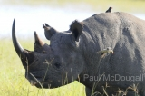 black-rhino-02