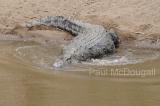crocodile-05