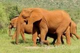 elephant-11