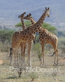 giraffe-01