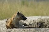 hyena-02