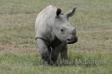 white-rhino-03