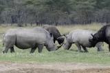 white-rhino-04