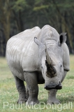 white-rhino-06