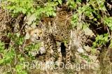 cheetah-01