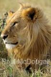 lion-03