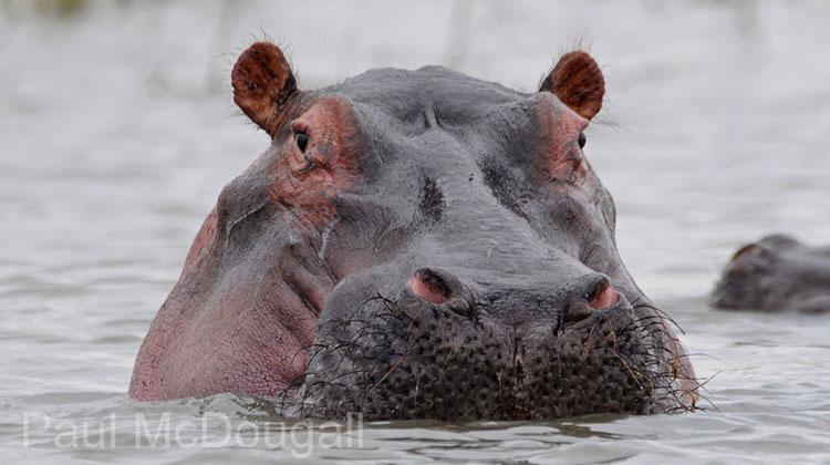 Paul McDougall - Hippo