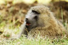 baboon-02