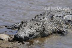 crocodile-03