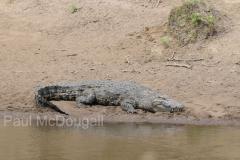 crocodile-04