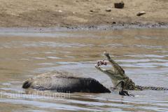 crocodile-06