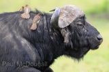 buffalo-02
