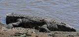 crocodile-02