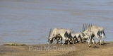 oryx-and-croc