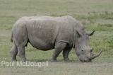 white-rhino-01