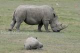 white-rhino-02