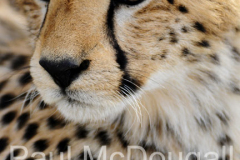 cheetah-02