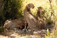 cheetah-04
