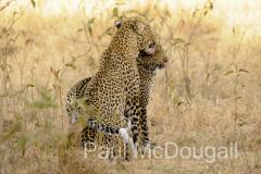 leopard-05