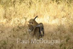 leopard-07
