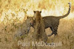 leopard-08