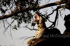 leopard-13