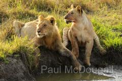 lion-07
