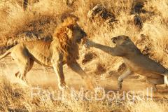 lion-19