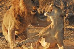 lion-20