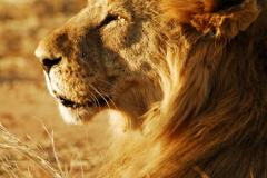 lion-21