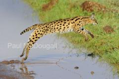 serval-cat-01