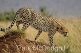 cheetah-05