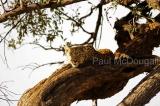 leopard-12