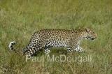 leopard-17